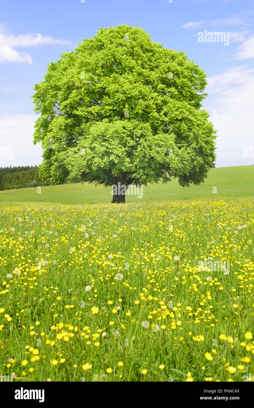 big old and single beech tree at spring in meadow - Stock Image