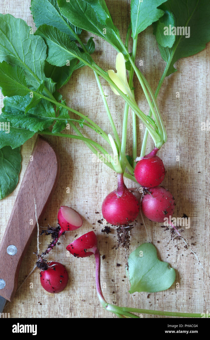 harvest-fresh radishes - Stock Image