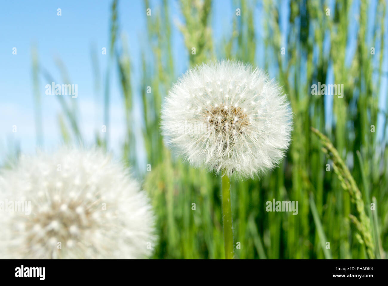 Dandelion fluff. Dandelion tranquil abstract closeup art background - Stock Image