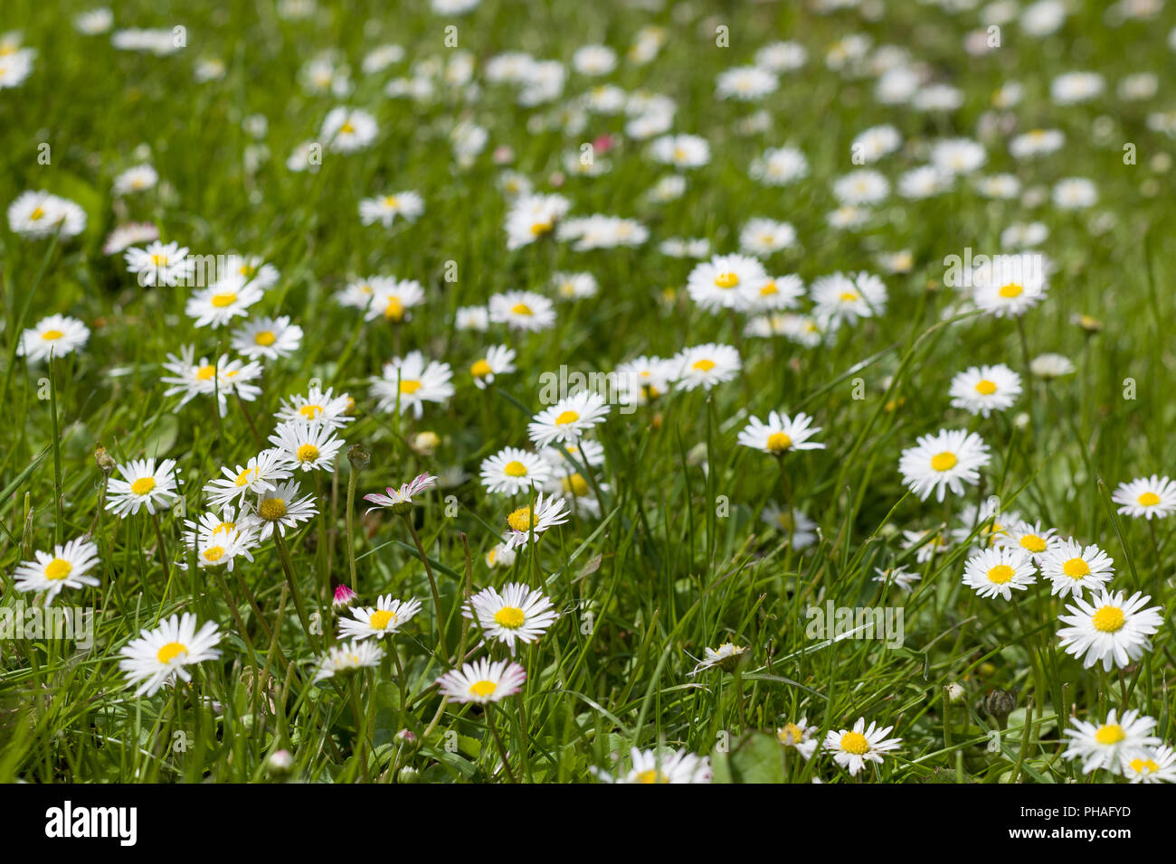 Beautiful Blooming Daisy Field Spring Easter Flowers Daisy Flower