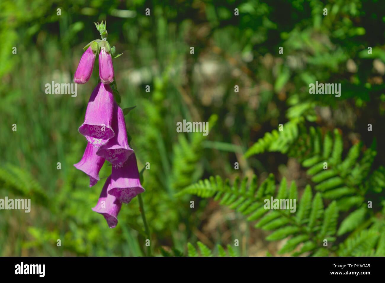 Foxglove - Tyrebagger Woods Stock Photo