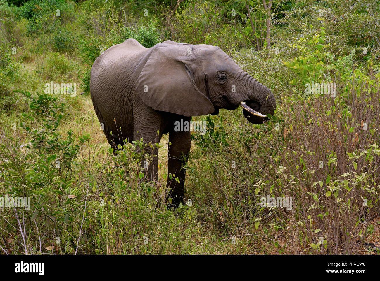 Elephant Grazing in Lake Manyara National Park - Stock Image