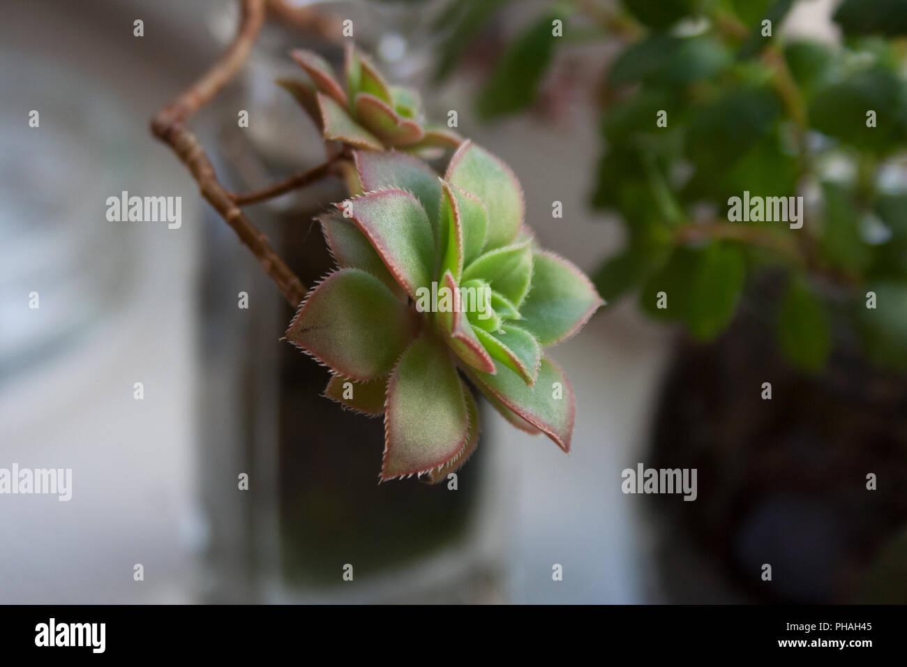Aeonium Kiwi succulent plant branch close up - Stock Image