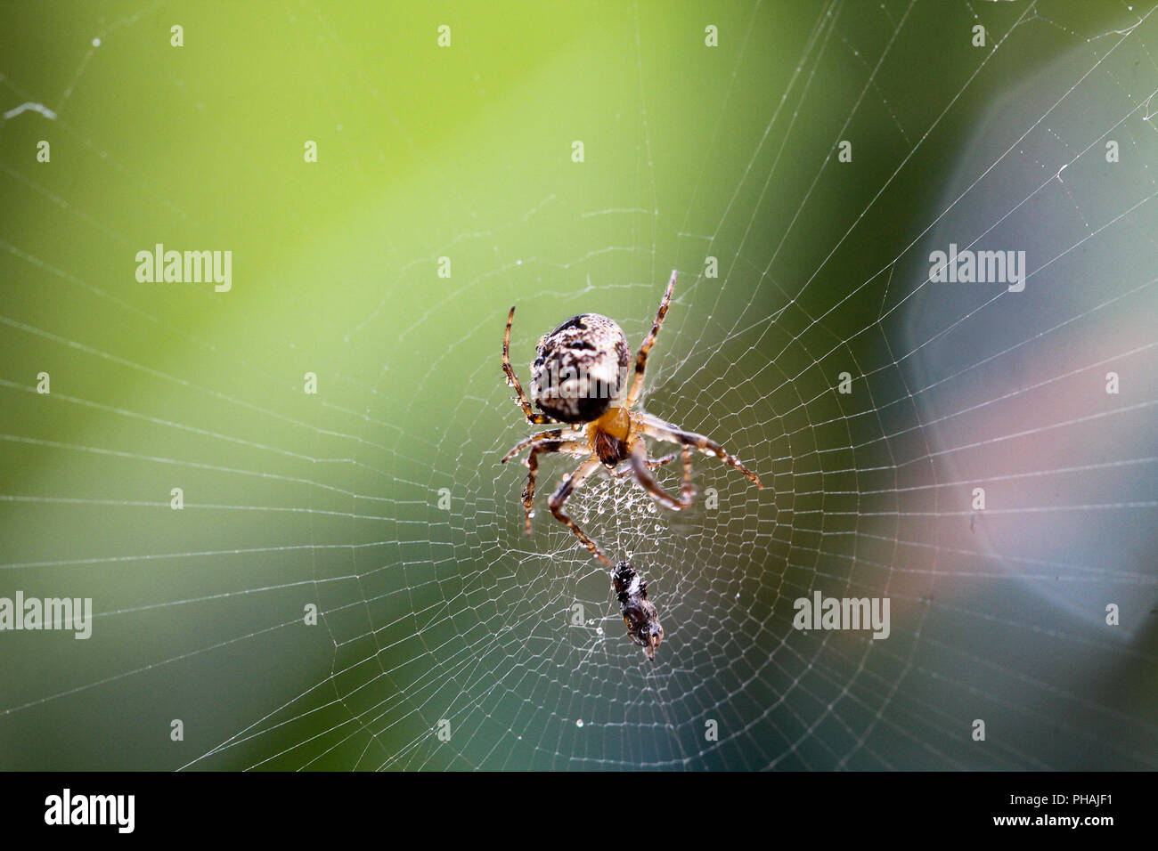 Column spider in morning dew with prey - Nuctenea umbratica - Stock Image