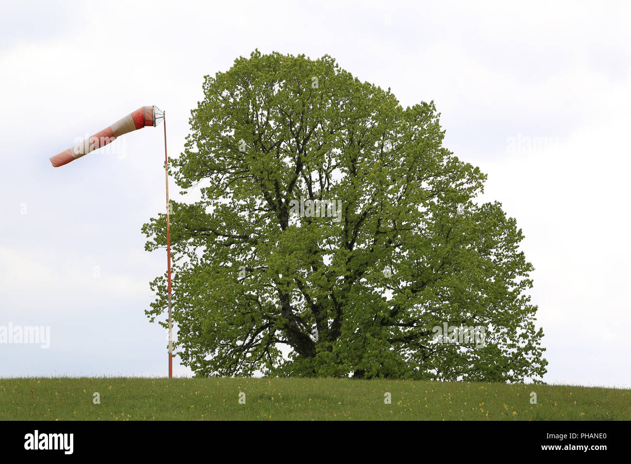 Windsock close to a mighty linden tree - Stock Image