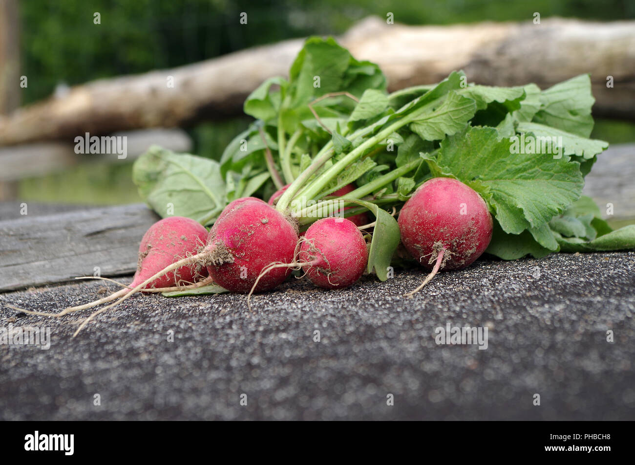 radishes crop - Stock Image