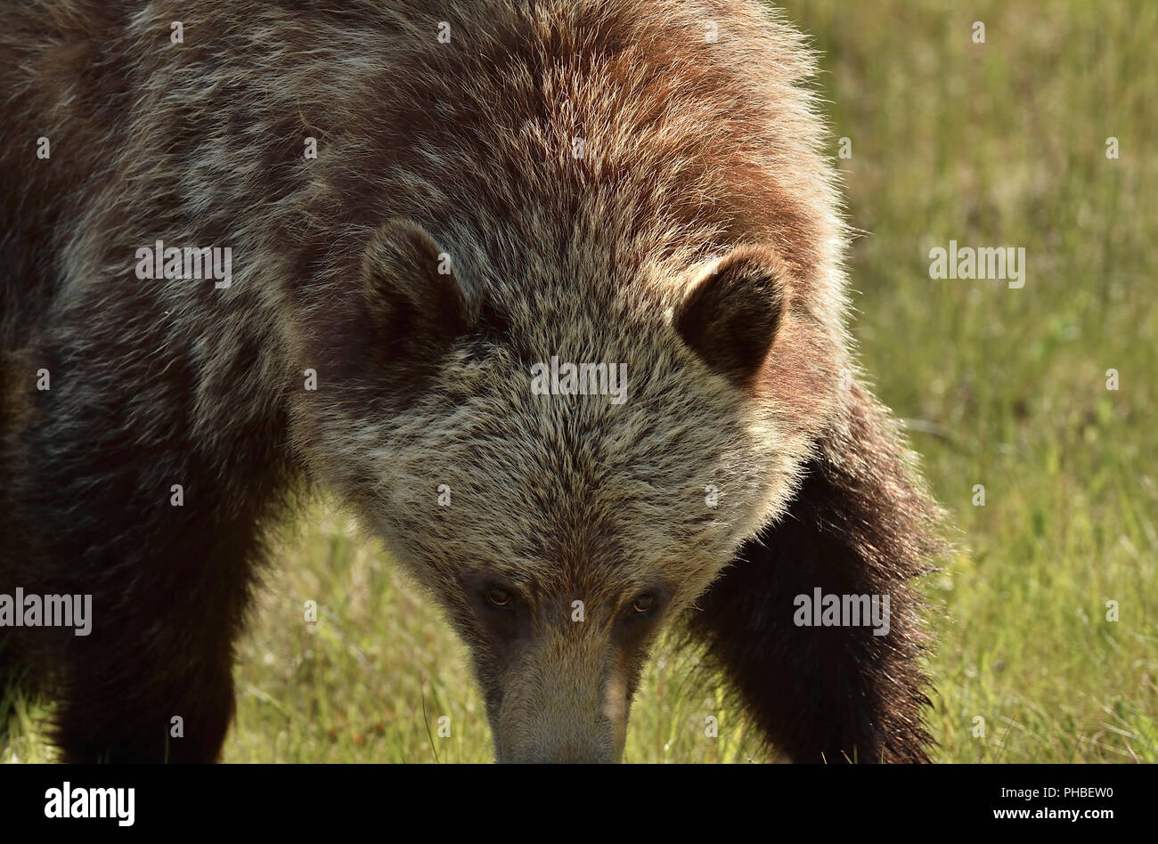 A close up image of a grizzly bear  (Ursus arctos); walking forward with his head down in an intimidating manner - Stock Image