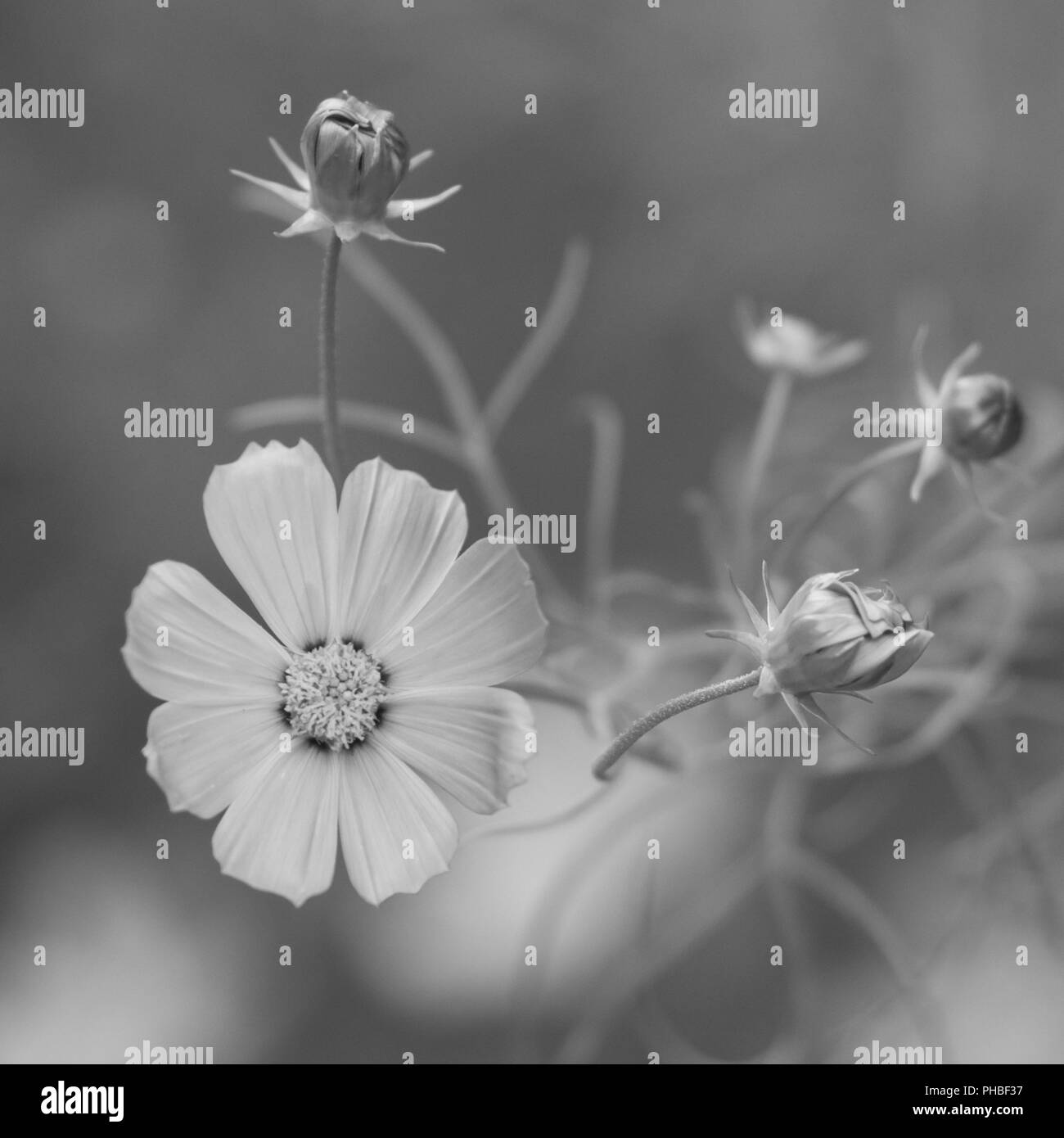 Beautiful Flower White Petals Open Close Bw Artistic Flowers