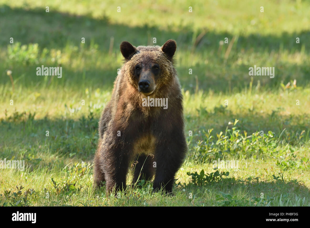 A horizontal image of a juvenile female grizzly bear  (Ursus arctos); walking forward in rural Alberta Canada - Stock Image