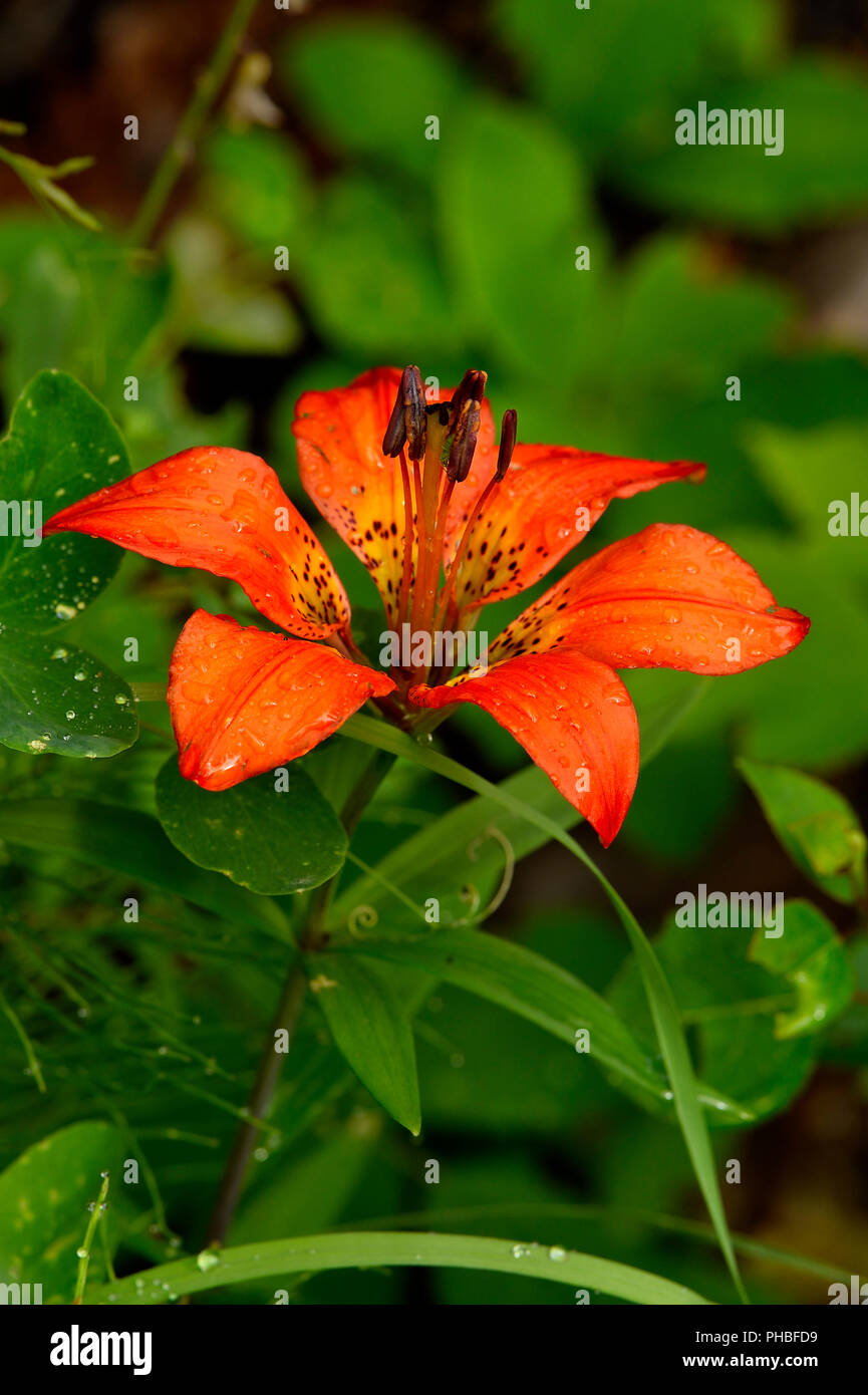 A vertical image of a wild Wood Lily (Lilium philadelphicum) growing in a wooded area in rural  Alberta Canada. Stock Photo