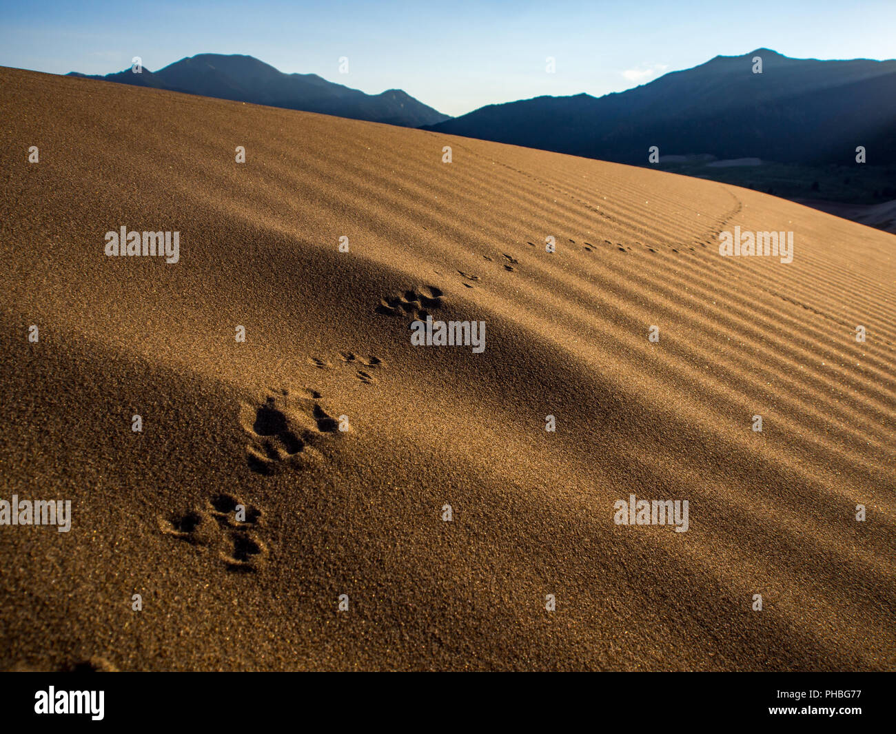 Animal Tracks in the Sand, Tracks along Sand Dune - Stock Image