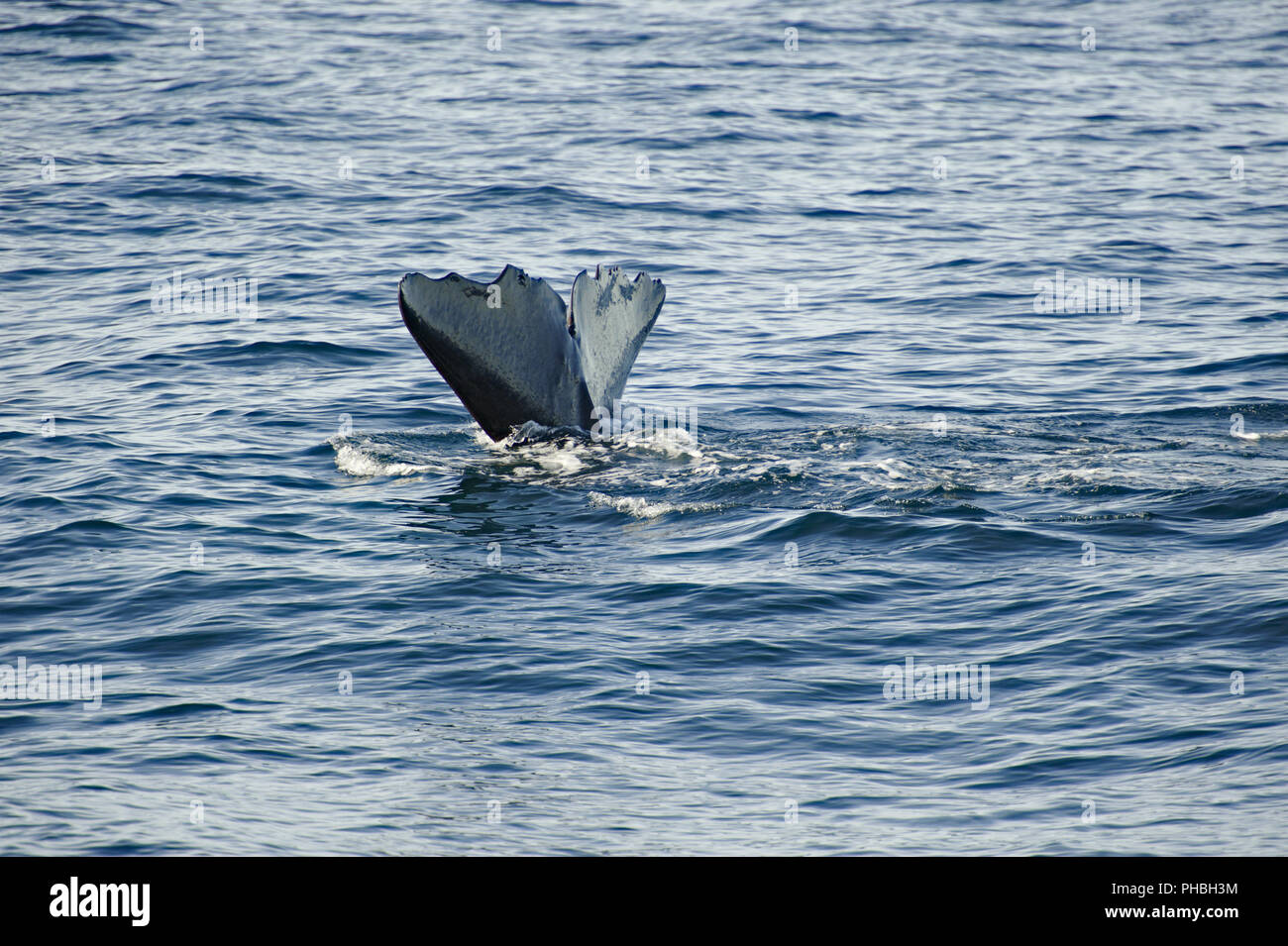 Spermwhale diving - Stock Image