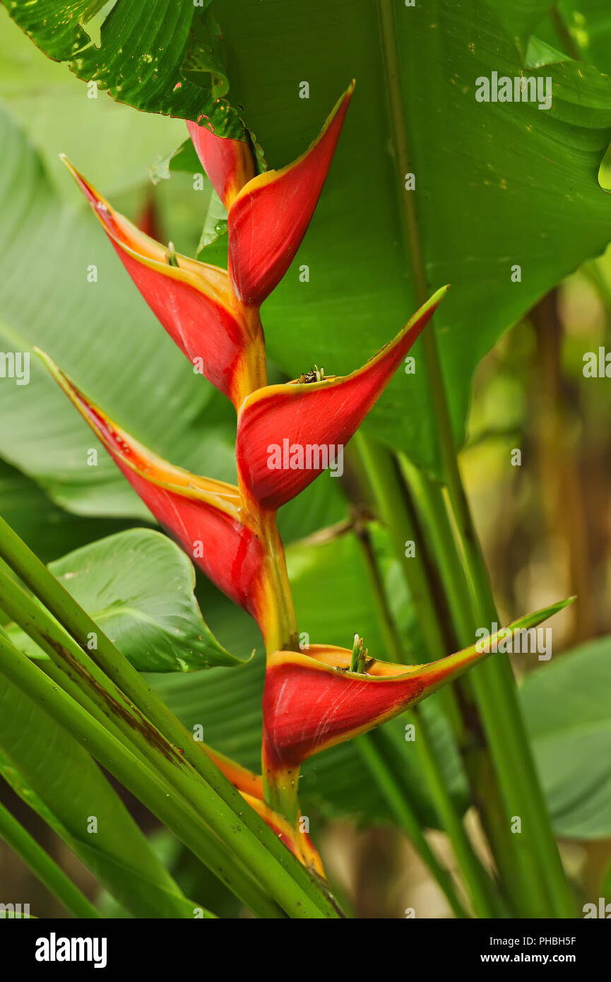 Red Heliconia, Costa Rica - Stock Image