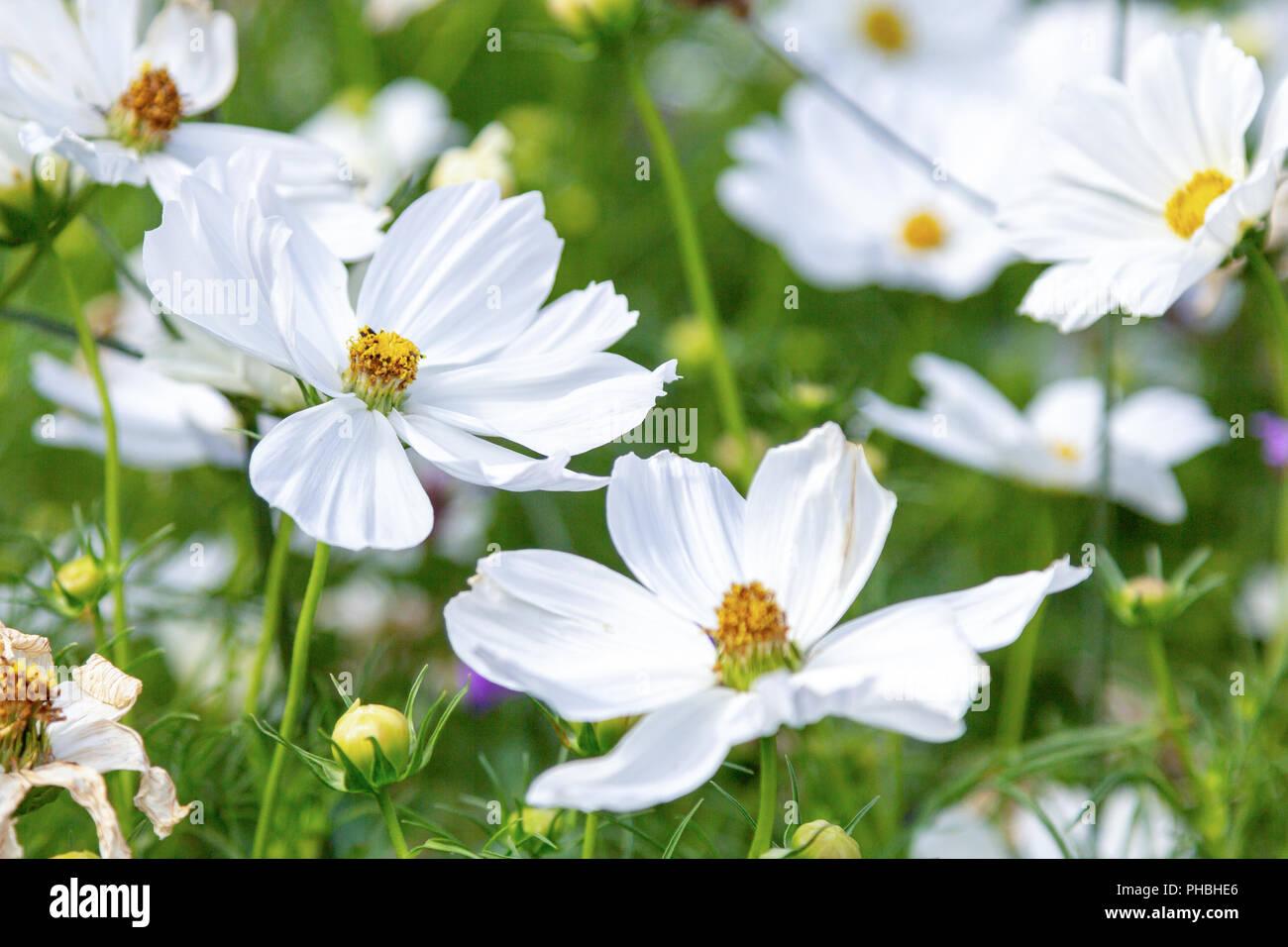 White garden cosmos flower in a bed of flowers stock photo white garden cosmos flower in a bed of flowers mightylinksfo