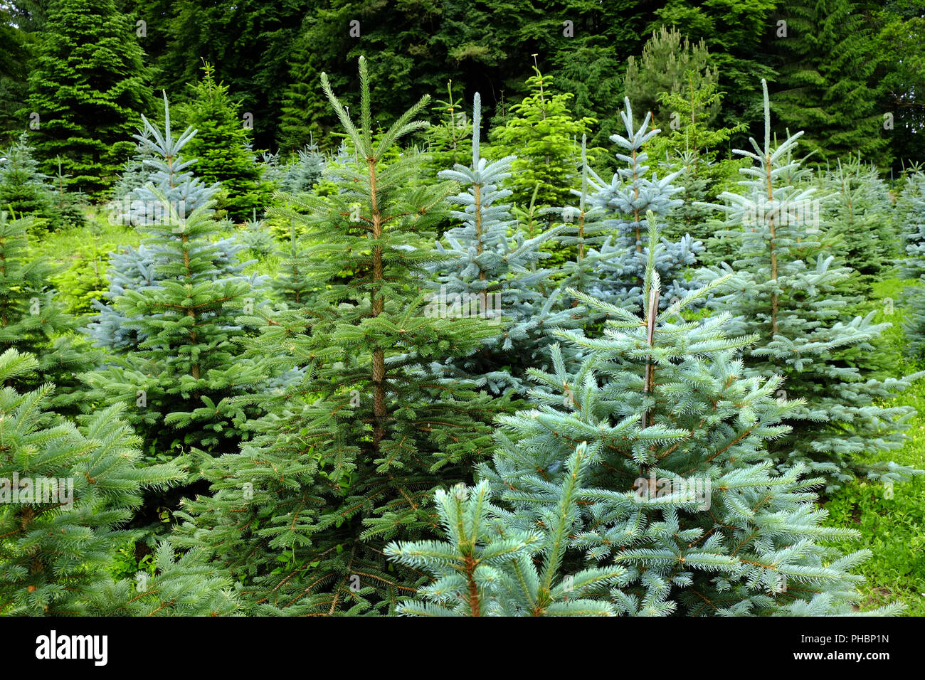 Conifers - Stock Image