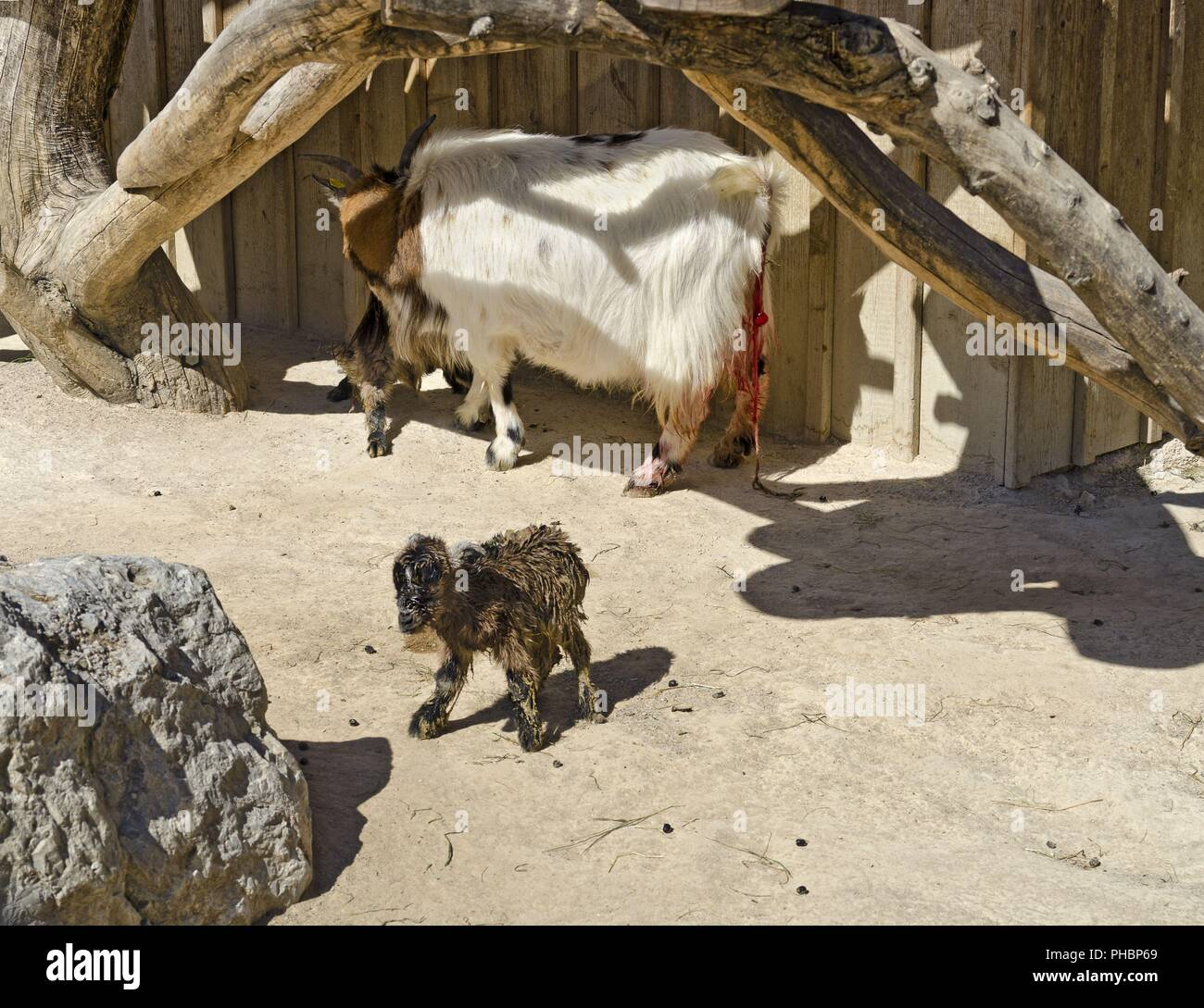 dwarf goat mother with two newborns - Stock Image