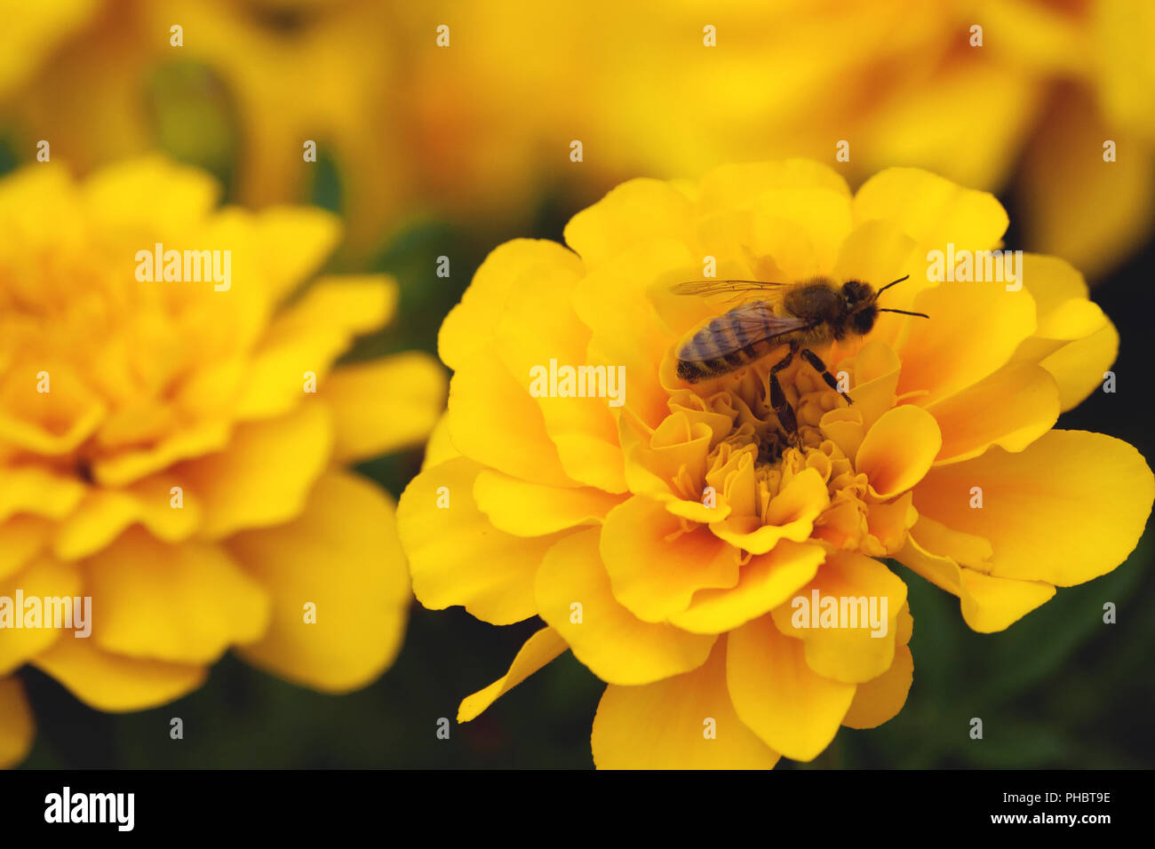 tagetes, marigold, symbol of health and longevity, beautiful and bright yellow plants close-up, a bee on a flower, grow in nature - Stock Image