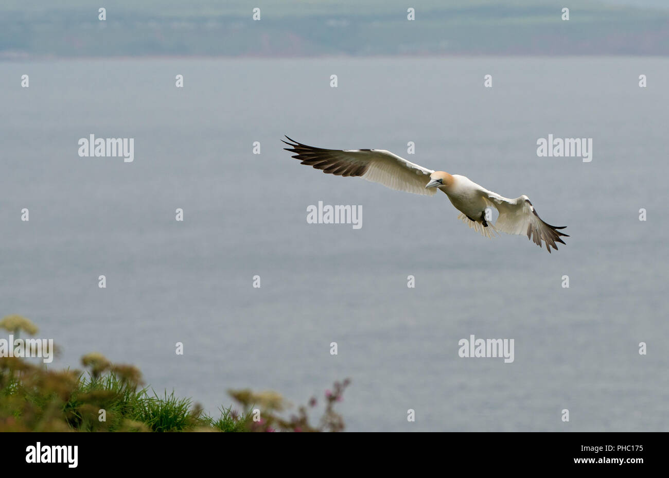 Gannet -Morus bassanus in  flight. Bempton Cliffs, R.S.P.B, Yorkshire, England, Uk. June. - Stock Image