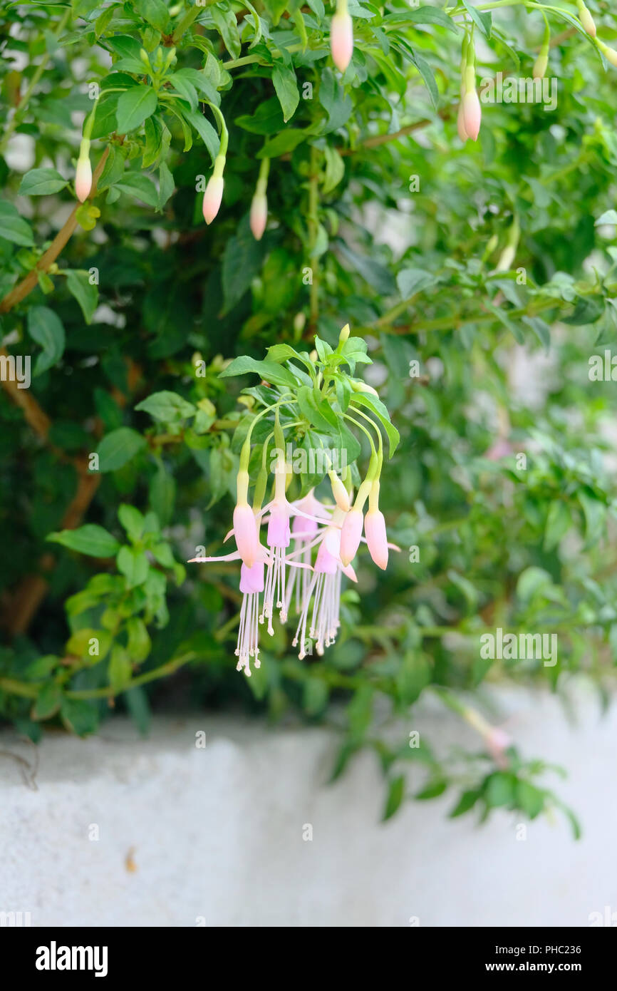 Tiny baby pink Fuschia flowers in bloom in late August - Stock Image