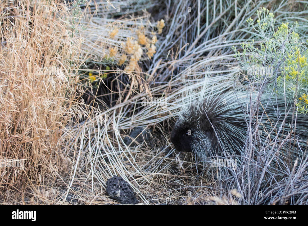 A young porcupine attempts to blend in with the tall, dry grass. Stock Photo