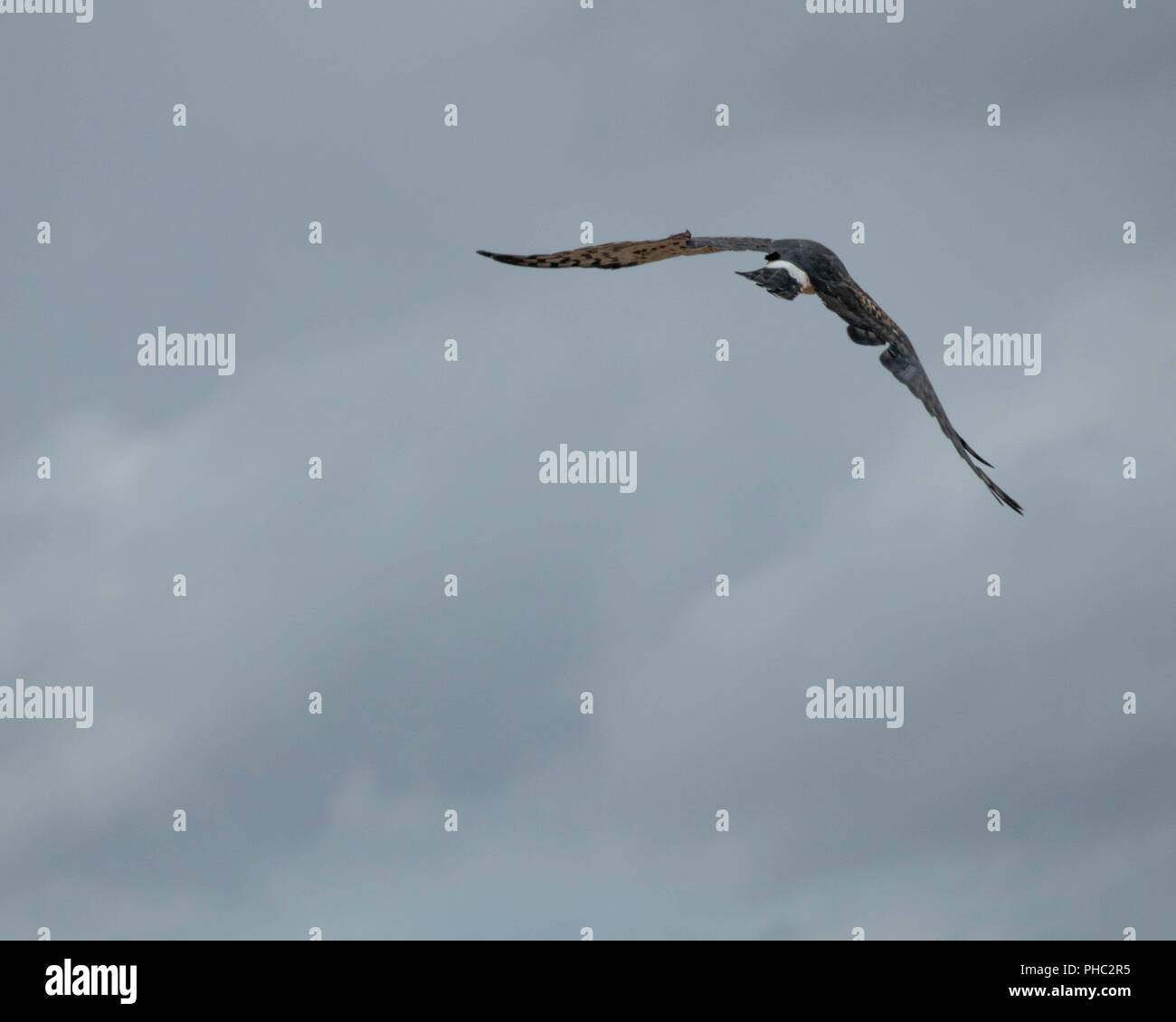 A northern harrier takes to the sky above southeastern Oregon. Stock Photo