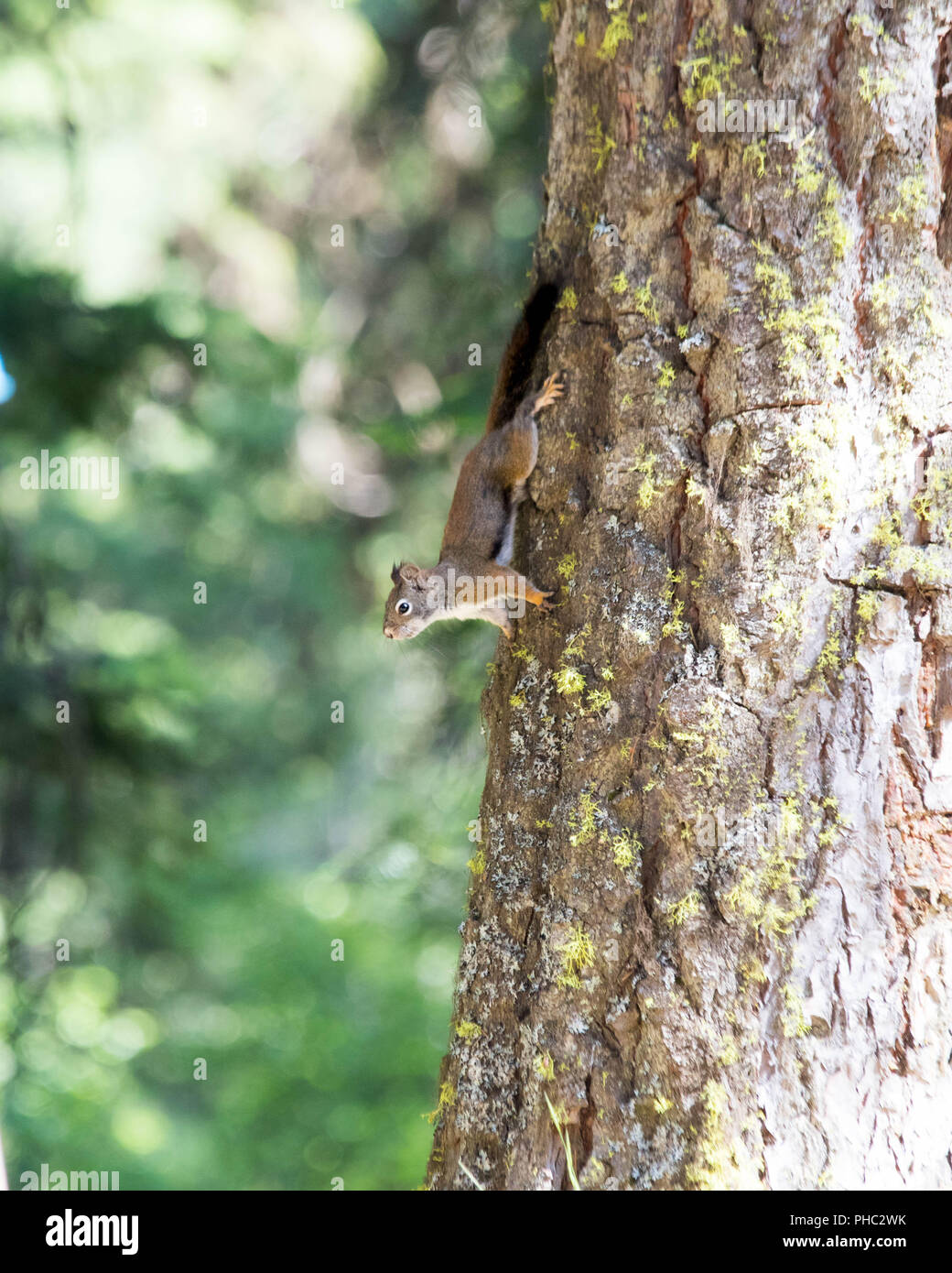 An American red squirrel defends its territory in Malhuer National Forest, Oregon. Stock Photo