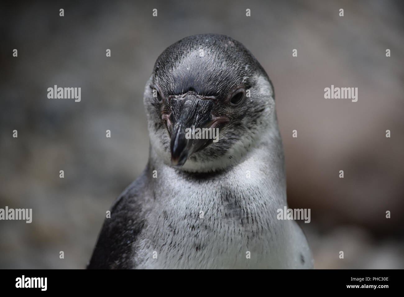 penguin at zoo - Stock Image
