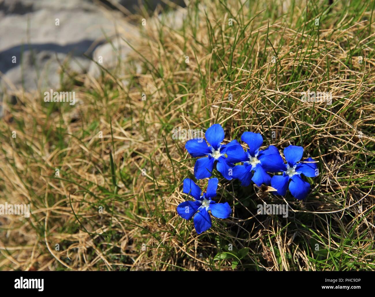 Spring gentians - Stock Image