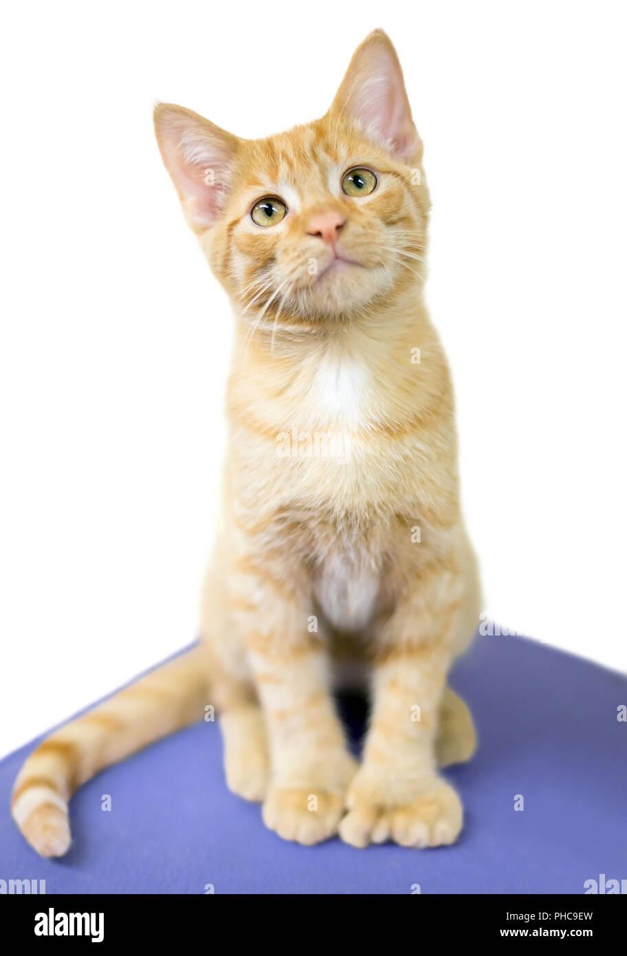 Polydactyl Cat Stock Photos & Polydactyl Cat Stock Images ...  Polydactyl Cat ...