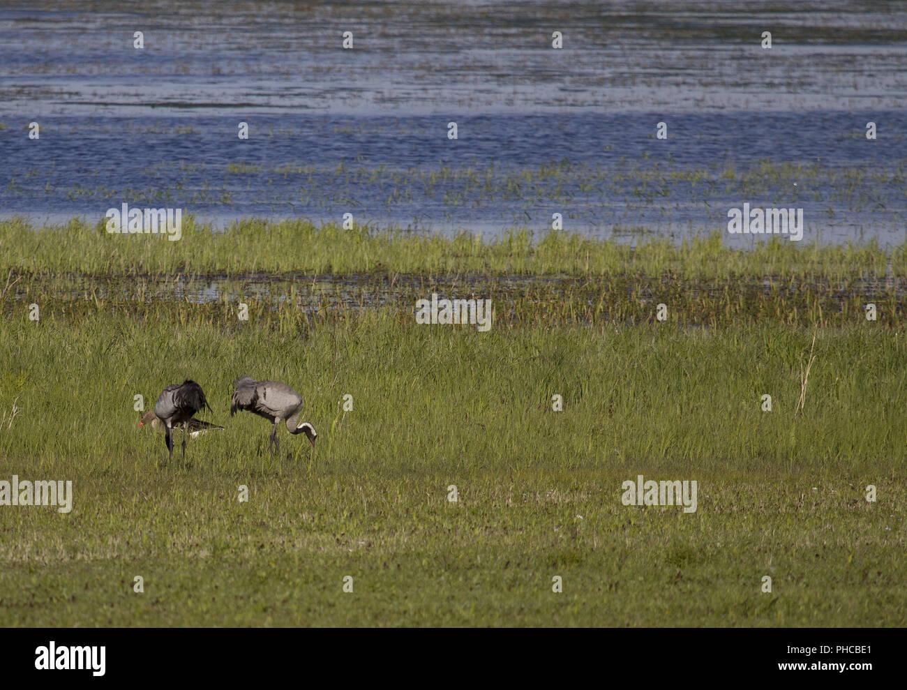 Common Crane, Trent-Lake, Saxony-Anhalt, East Germany - Stock Image