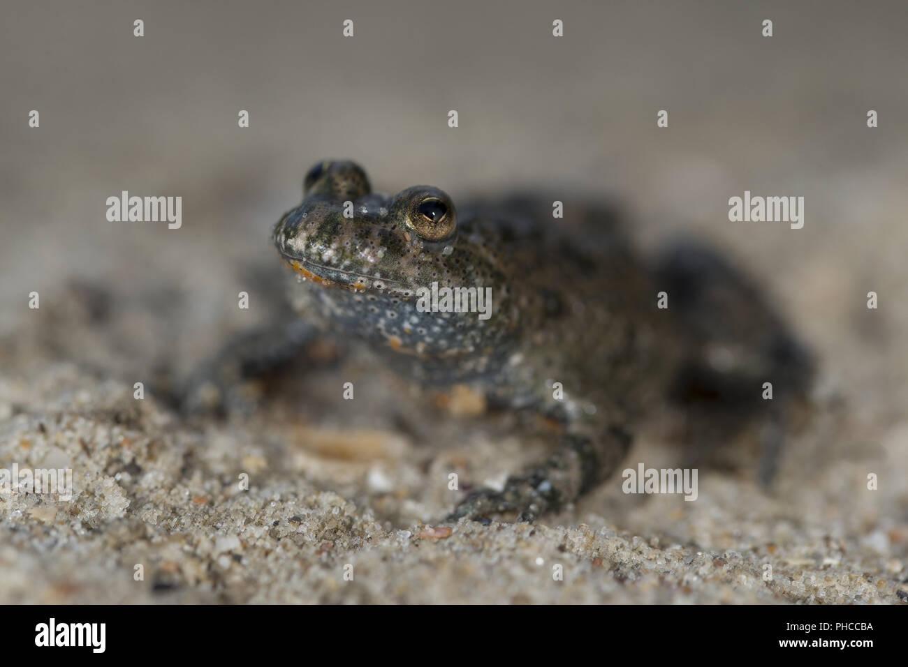 Firefox belief toad - Stock Image