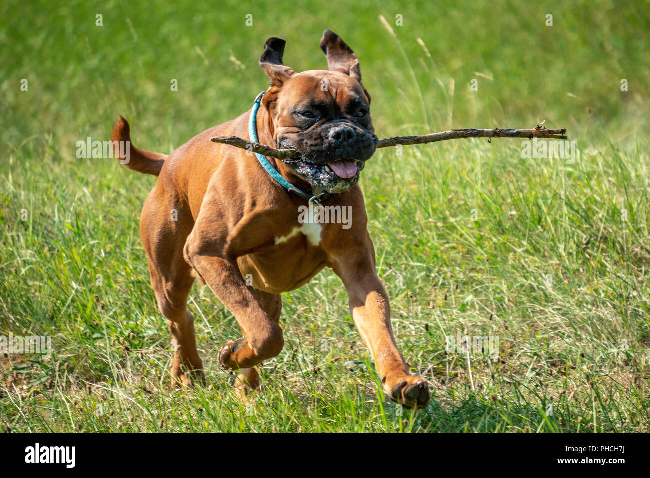 Trieste, Italy, 19 August 2018. A boxer dog (German boxer) retrieves a wooden stick.  Photo by Enrique Shore - Stock Image