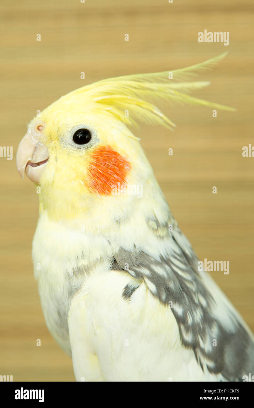 corella parrot with red cheeks and long feathers - Stock Image