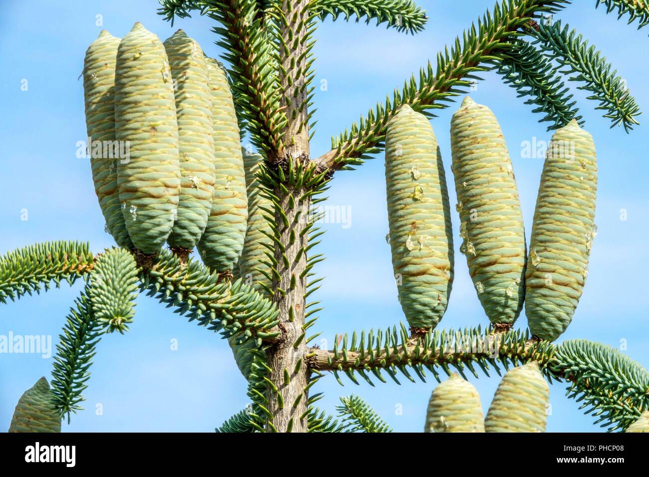 Cones Abies Pinsapo Fastigiata Stock Photo 217254248 Alamy