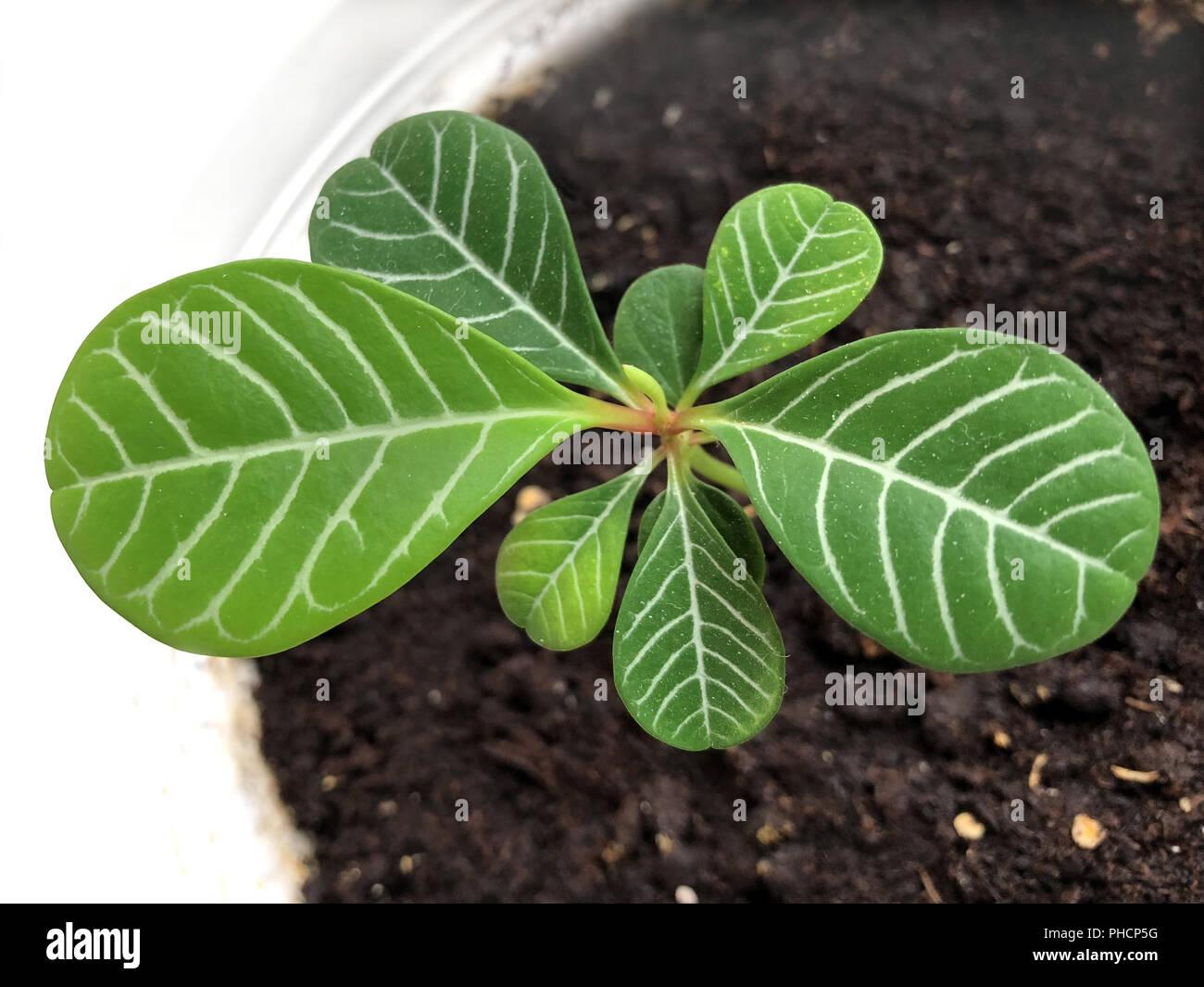 Euphorbia Leuconeura Madagascar Jewel - Stock Image