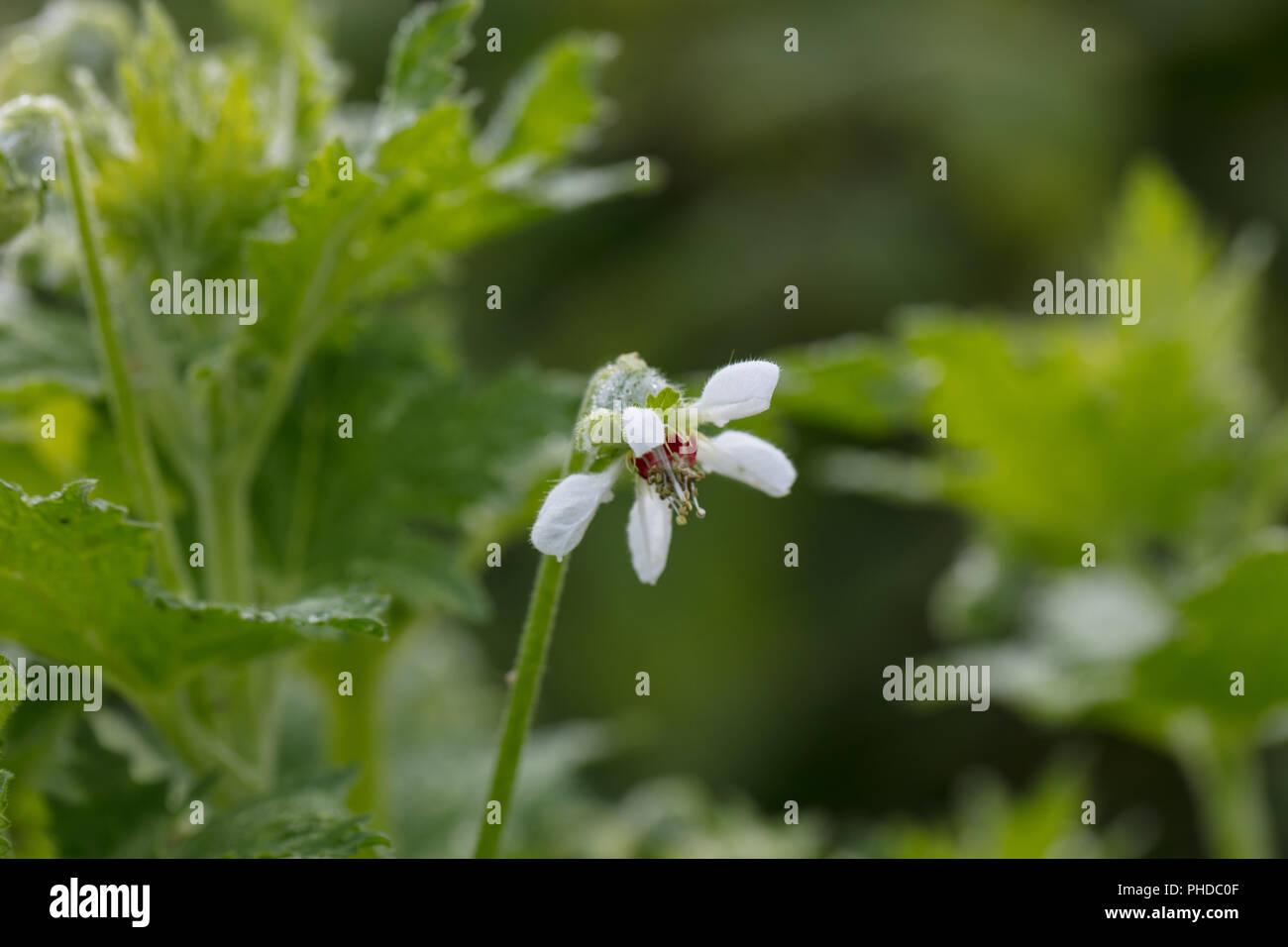 Sting lily, Saloa hieronymi (Blumenbachia hieronymi) - Stock Image