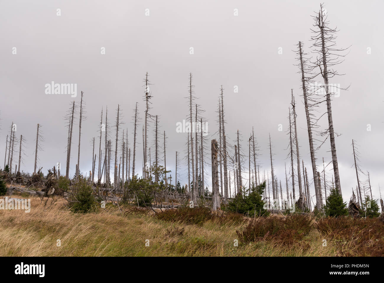 Bald trees after bark beetle infestation - Bohemian forest - Stock Image