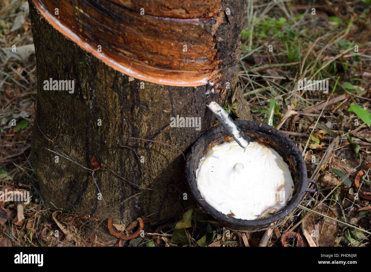 Natural latex dripping from rubber tree - Stock Image