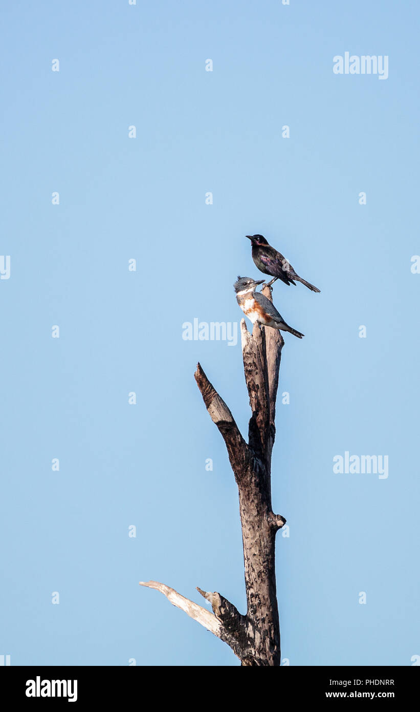 Belted Kingfisher Megaceryle alcyon perches high up in a tree - Stock Image