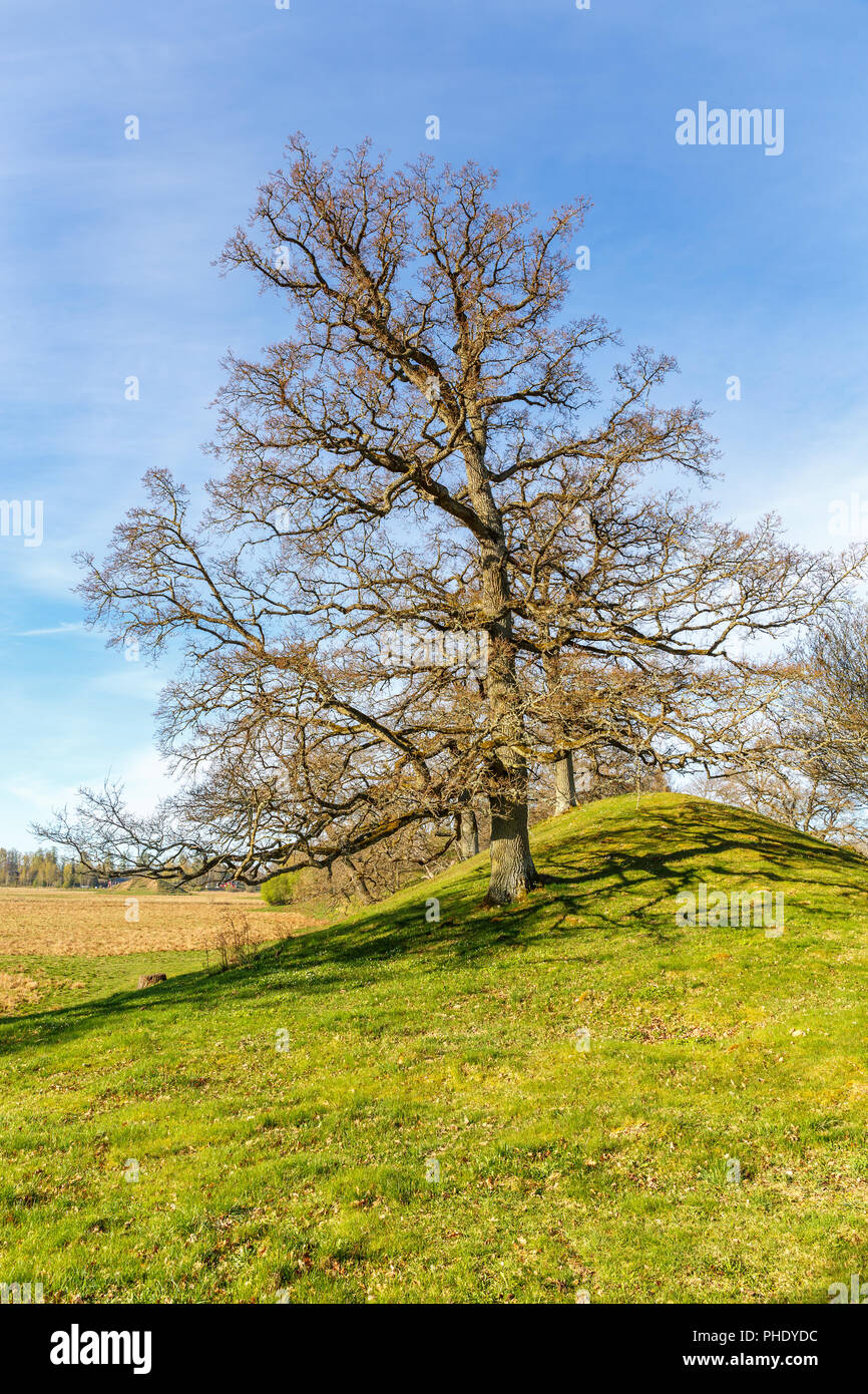 Oak tree at a eskar in the countryside at spring - Stock Image