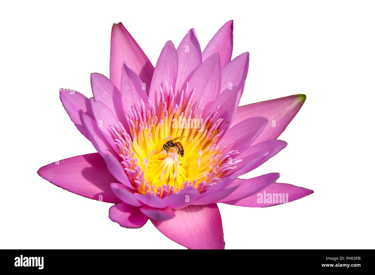 Fresh pink waterlily flower isolated on white background. Close focus of beautiful pink water lily flowers isolated is blooming with copy space - Stock Image