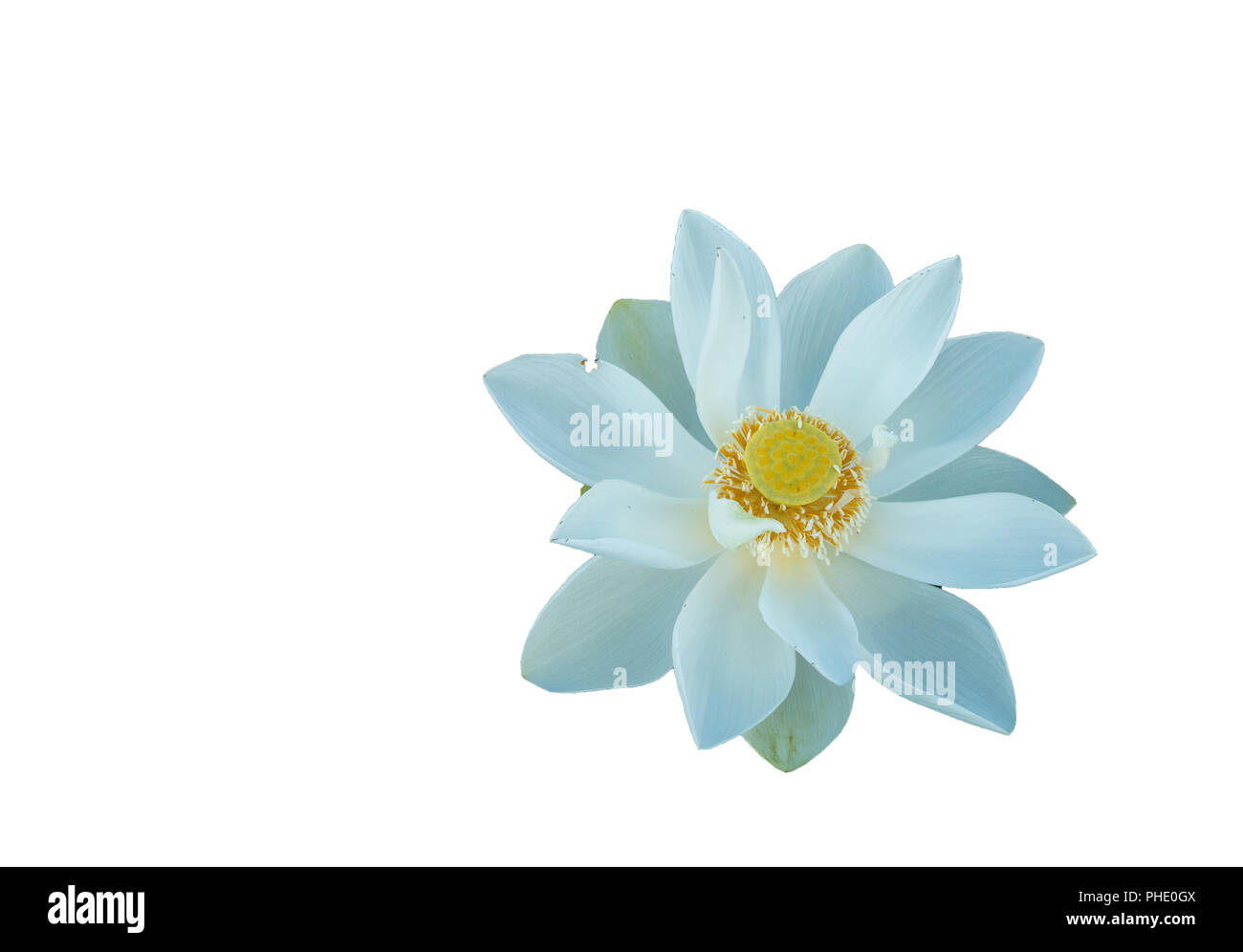 Fresh Pink Lotus Petal Flower Isolated On White Background Close