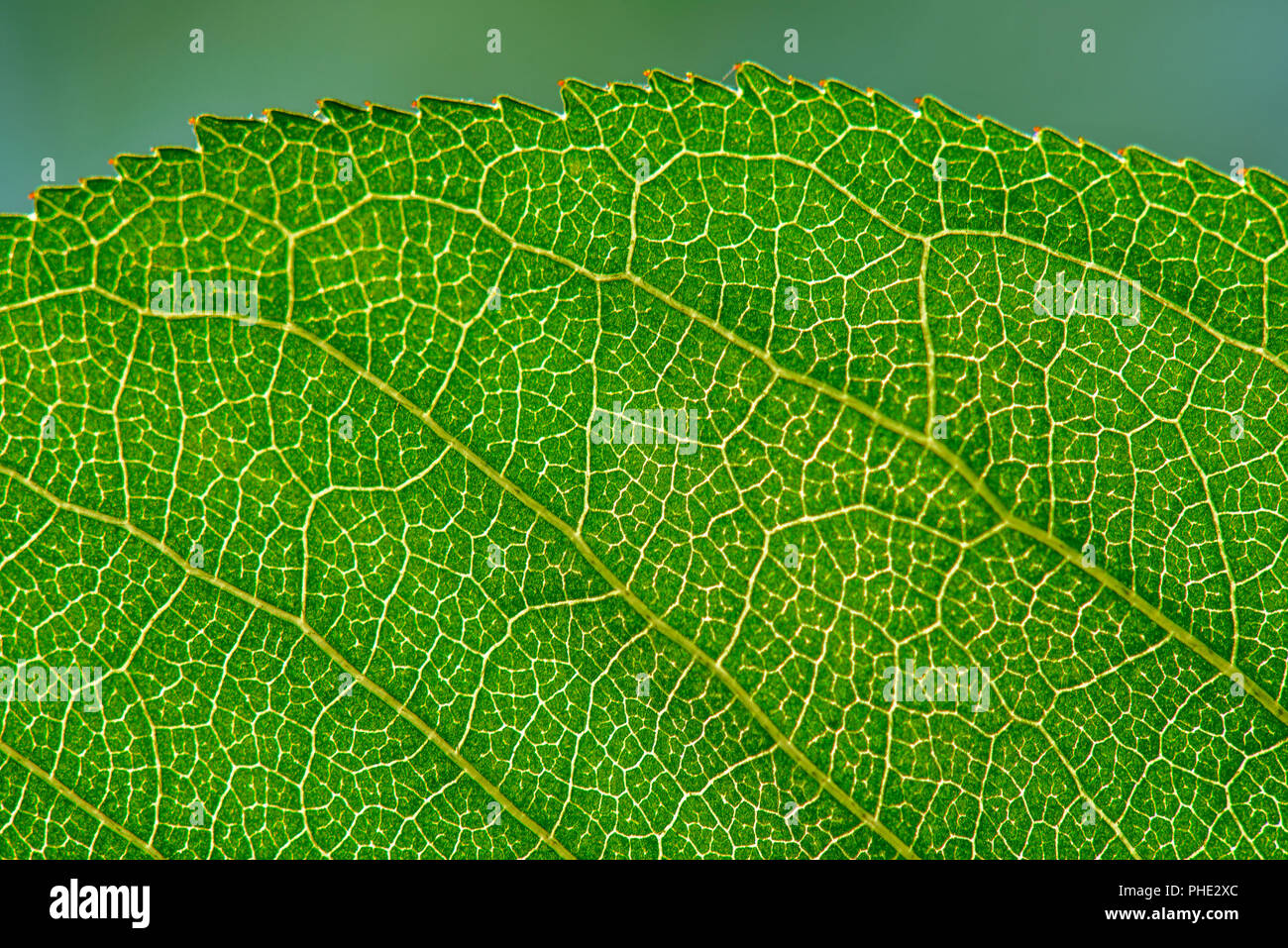Leaf texture with veins - Stock Image