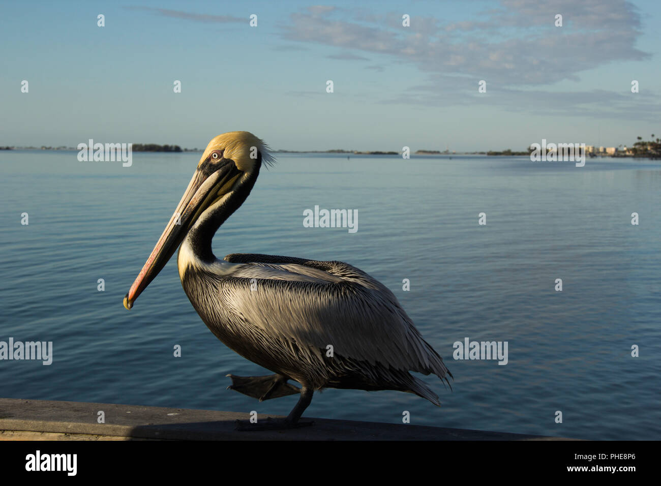 front-lit pelican standing with calm ocean background - Stock Image