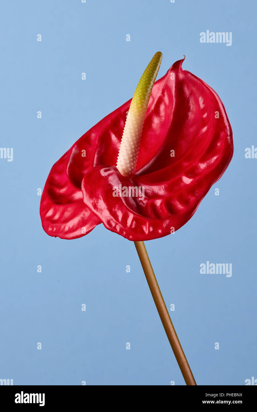 Red anthurium flower on a blue background stock photo 217290134 alamy red anthurium flower on a blue background izmirmasajfo