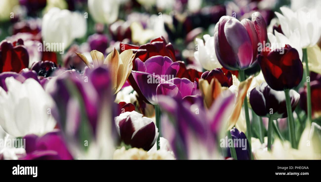 tulips tinted concept purple deep - Stock Image