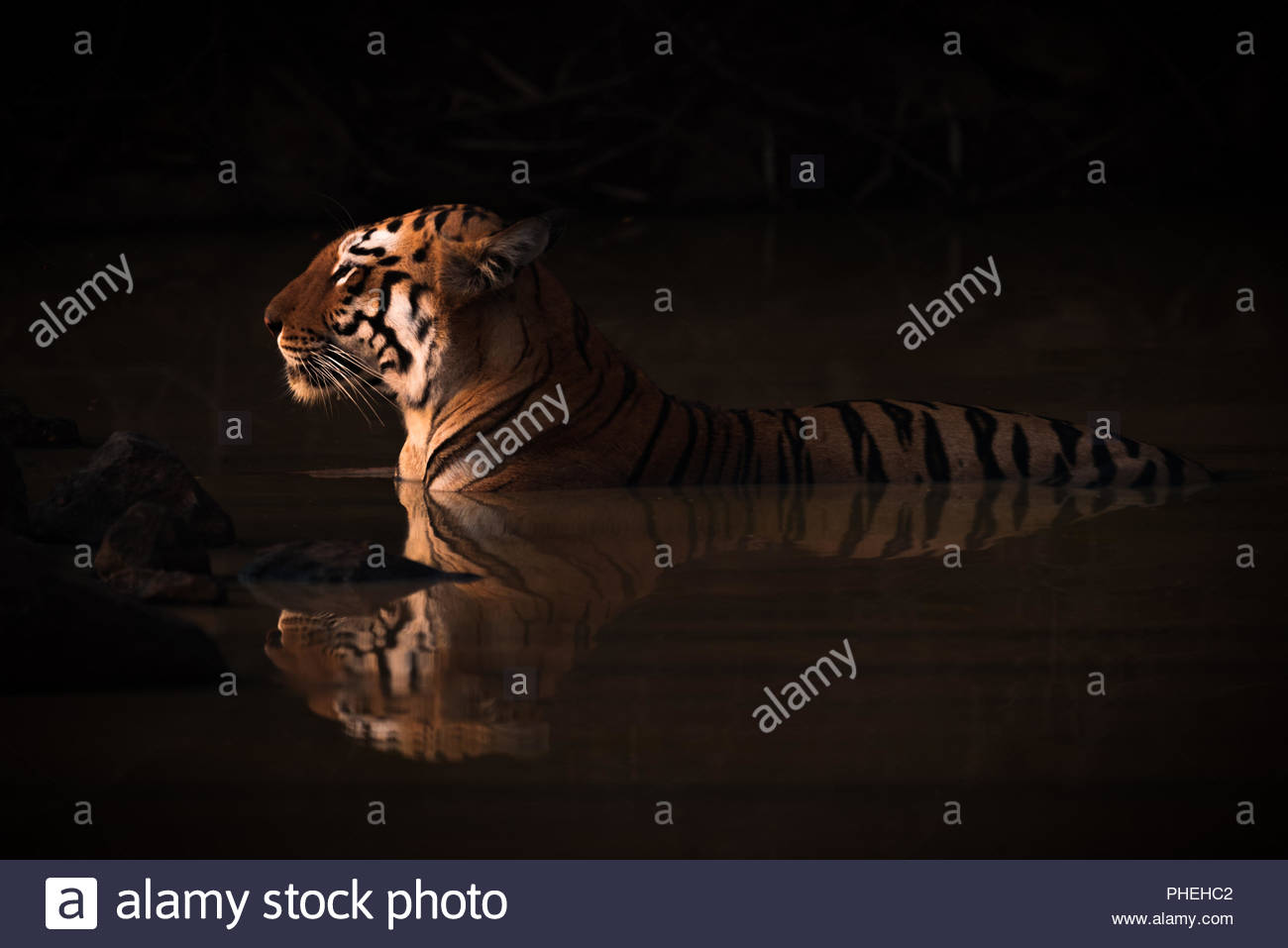 Bengal tiger lying in shadowy water hole - Stock Image