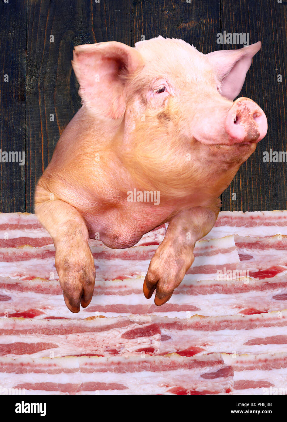 pig looks out over the layers of lards - Stock Image