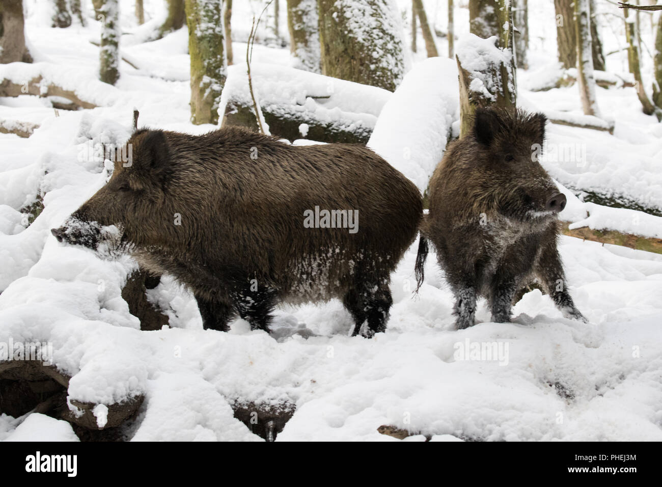 two wild boars - Stock Image