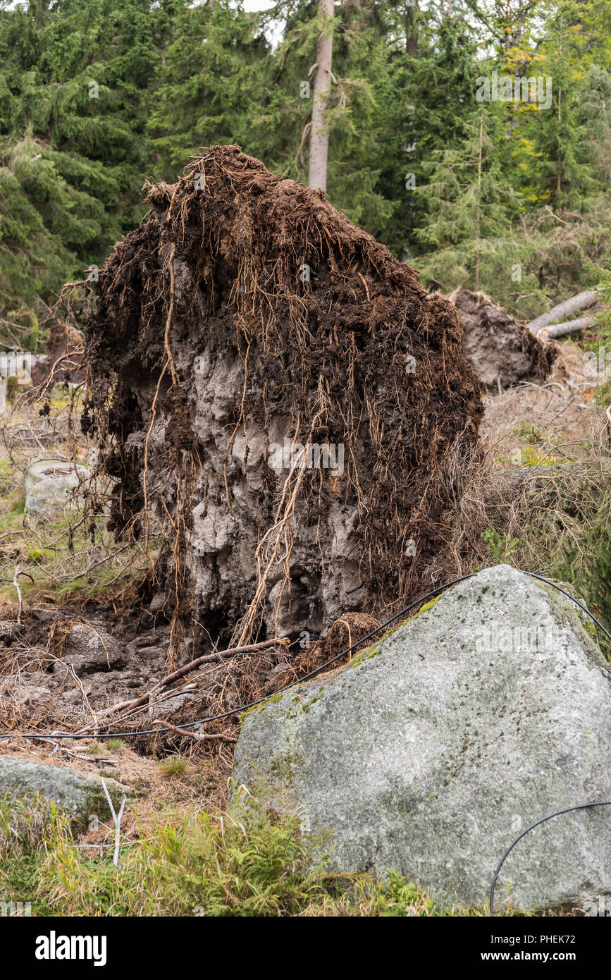 In a storm uprooted tree - closeup environmental damage - Stock Image
